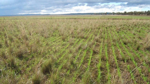 Pasture Cropping A New Paradigm for Crops and Livestock with Colin Seis