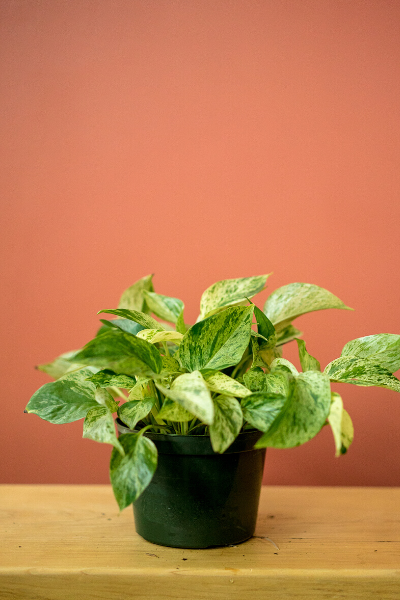 GOLDEN POTHOS - PICK UP ONLY