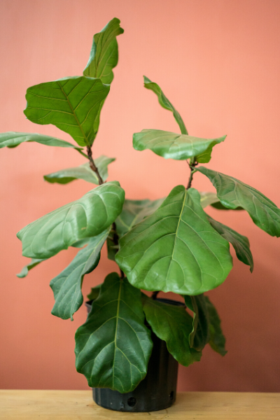 FIDDLE LEAF FIG - PICK UP ONLY