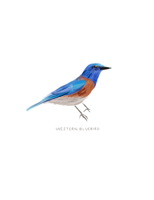 Western Bluebird Illustration