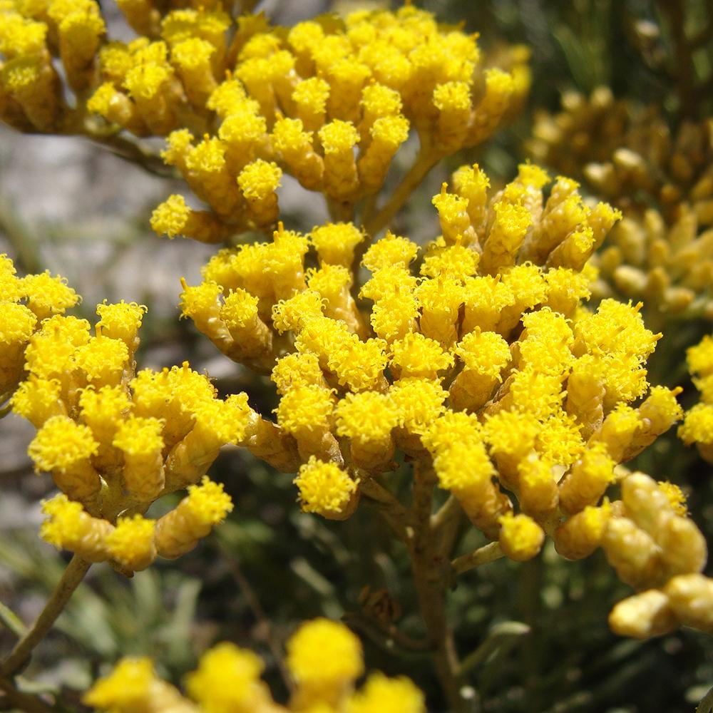 Immortelle: Gilded's key ingredient