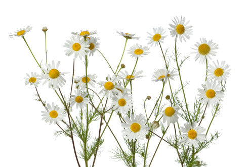 German Chamomile.  A bit of herbal sunshine for you and your dog.