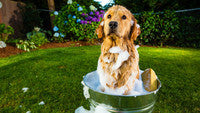 15 Ingredients To Avoid In Dog Shampoo