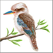 Small Cards (Pack of 10) - Bird Kookaburra