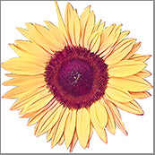 Small Cards (Pack of 10) - Sun Flower