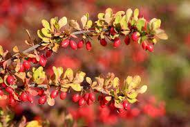 Facts about Barberry