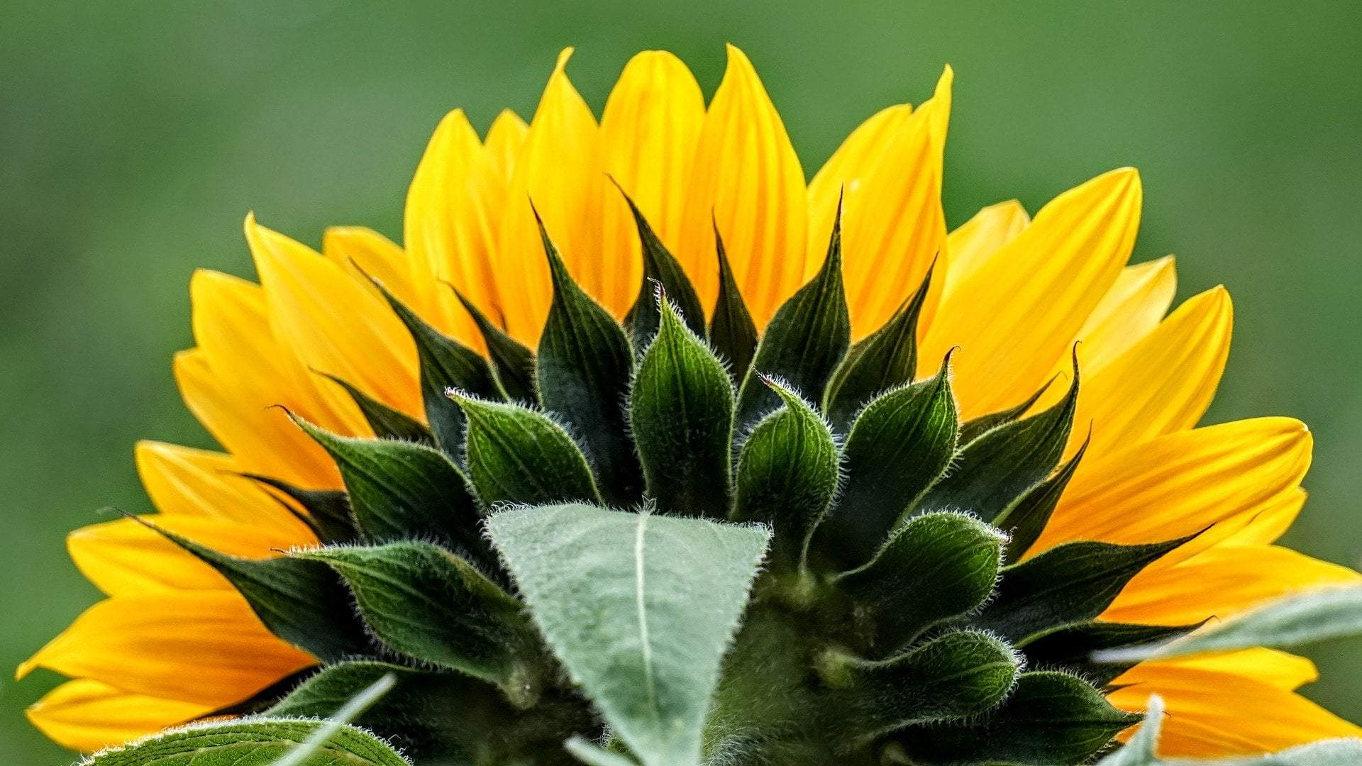 The Benefits of Sunflower Seed Oil
