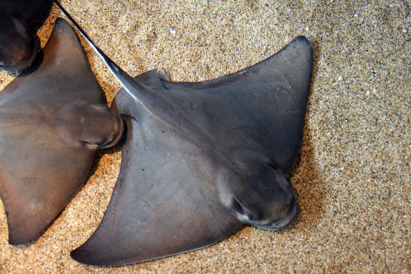 The Powerful Bat Ray