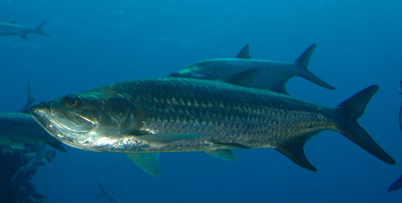 The Spectacular Tarpon