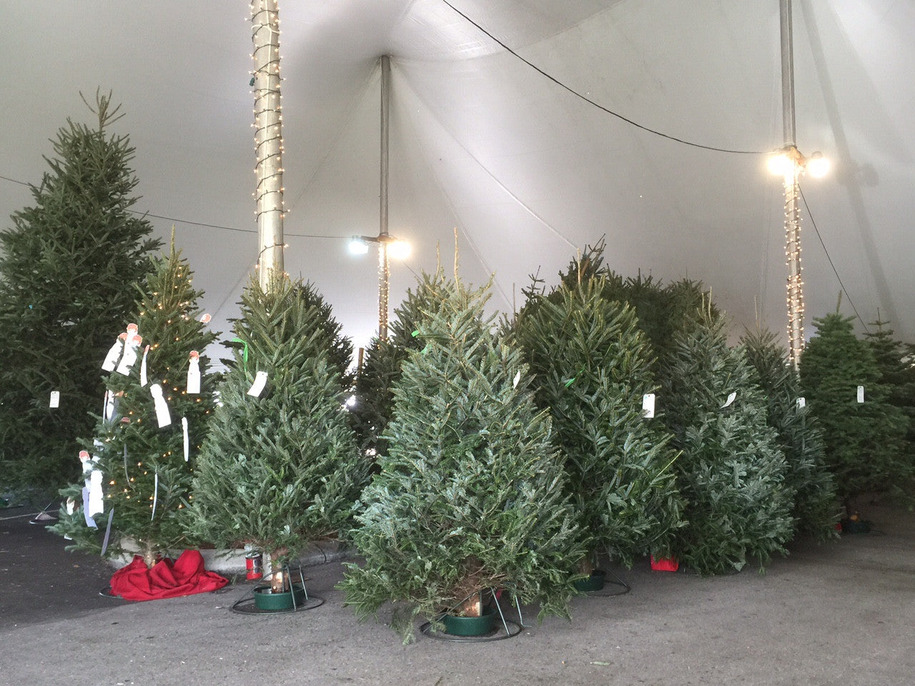 Naples Christmas Tree Tent by Uncle Al's Christmas Trees