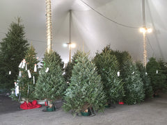 Over 300 trees in Stock at Uncle Al's Christmas Trees
