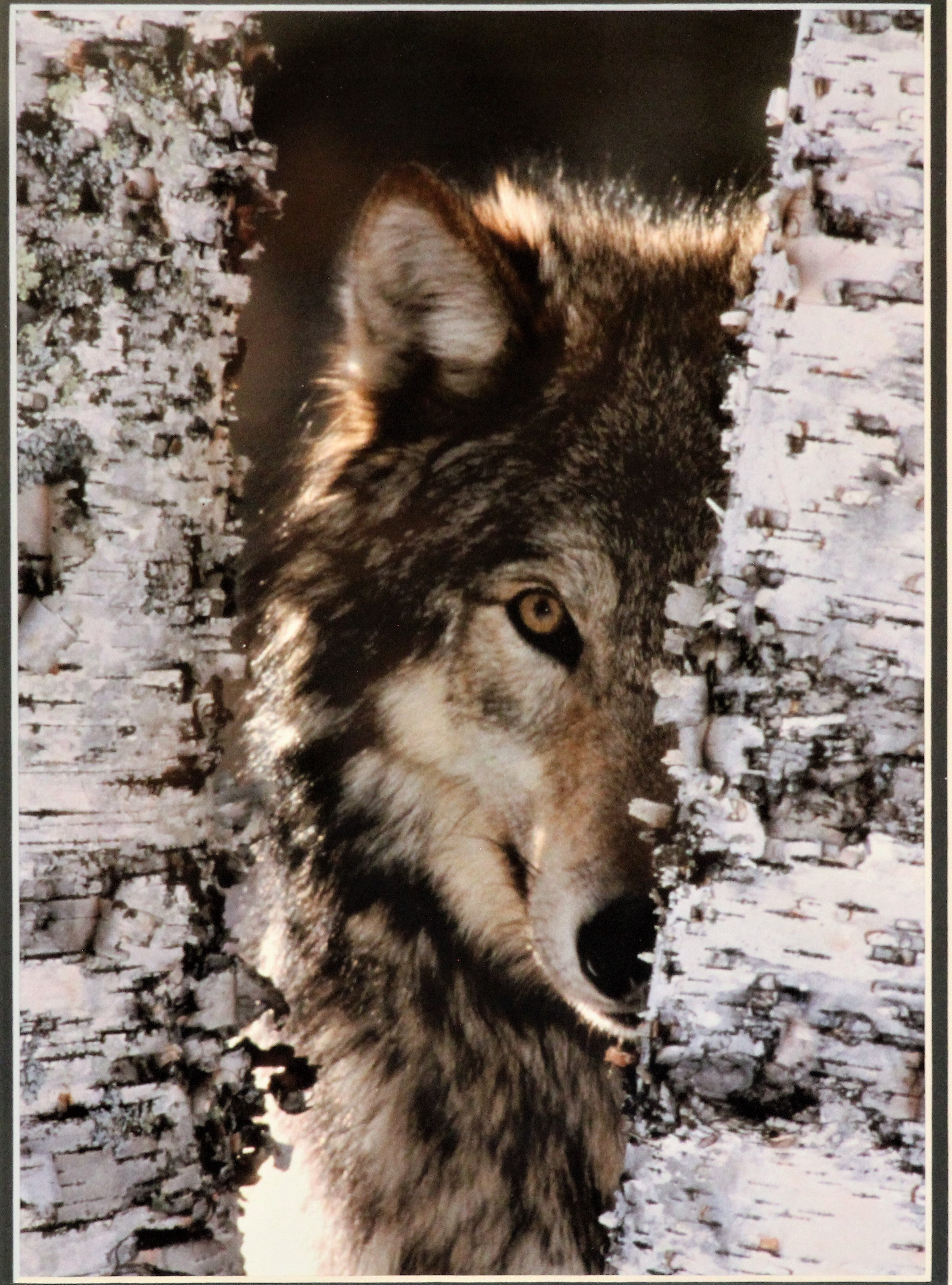 Framed Wolf Photograph