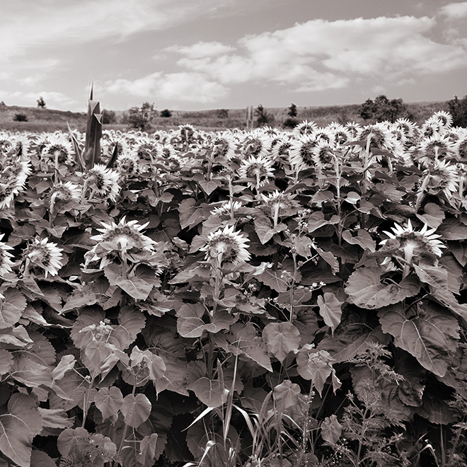 Black and White Photo of a Field of Sunflowers