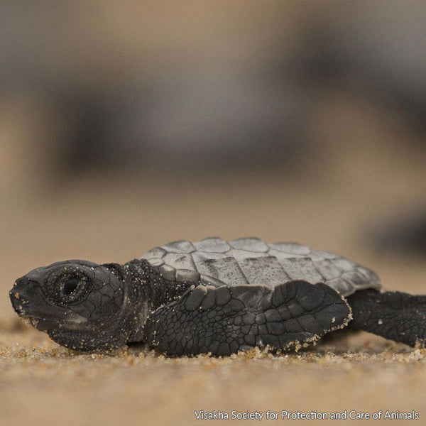 Donation - Protect Sea Turtle Nesting Sites In India