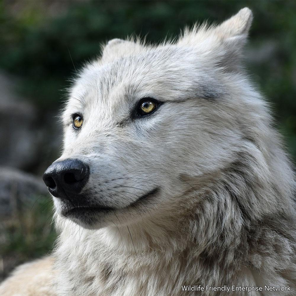 Donation - Help Save Wolves In The American West!