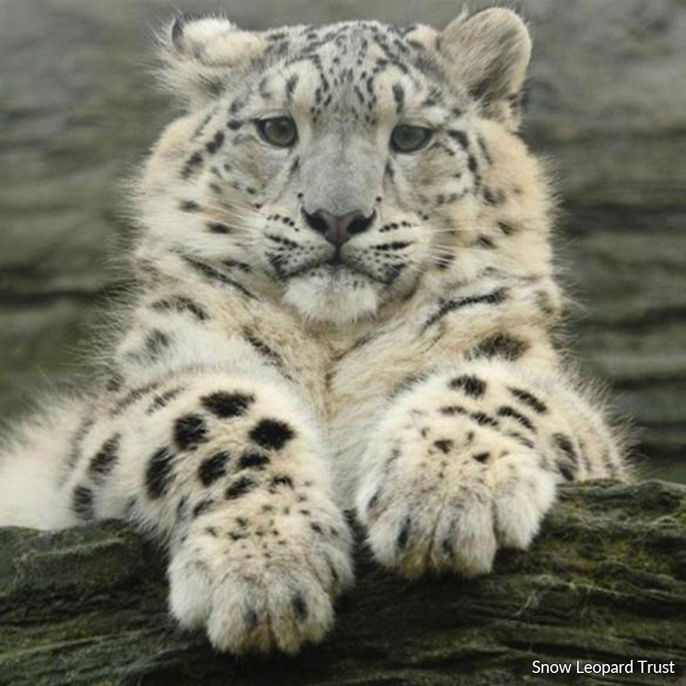 Donation - Save The Snow Leopard