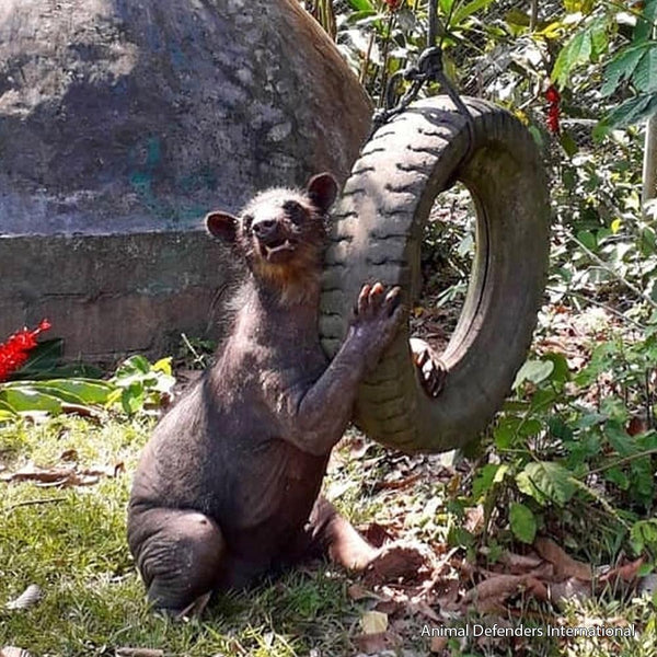 Donation - Help Rescued Endangered Bears - Cholita And Dominga