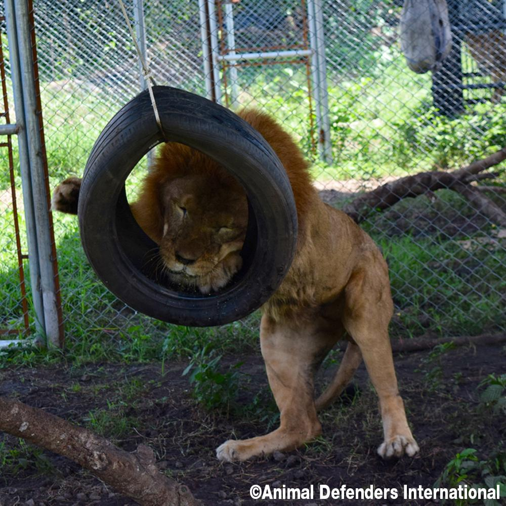 Help Rescue 5 Circus Lions in Guatemala