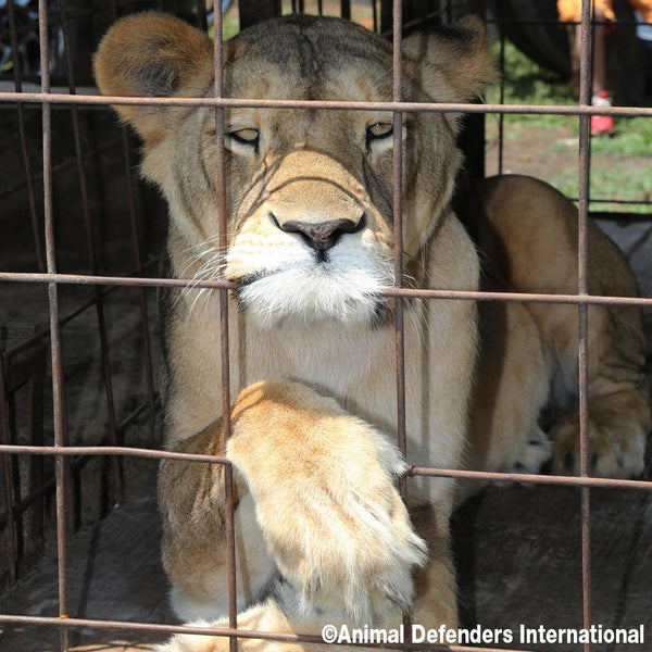 Donation - Urgent: Help Rescue 5 Circus Lions In Guatemala