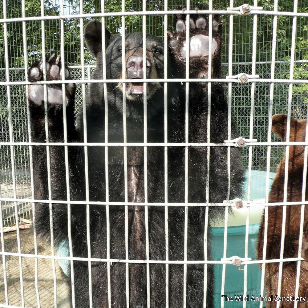 Donation - Help Rescue Bears From Abuse With Rescue Rebuild