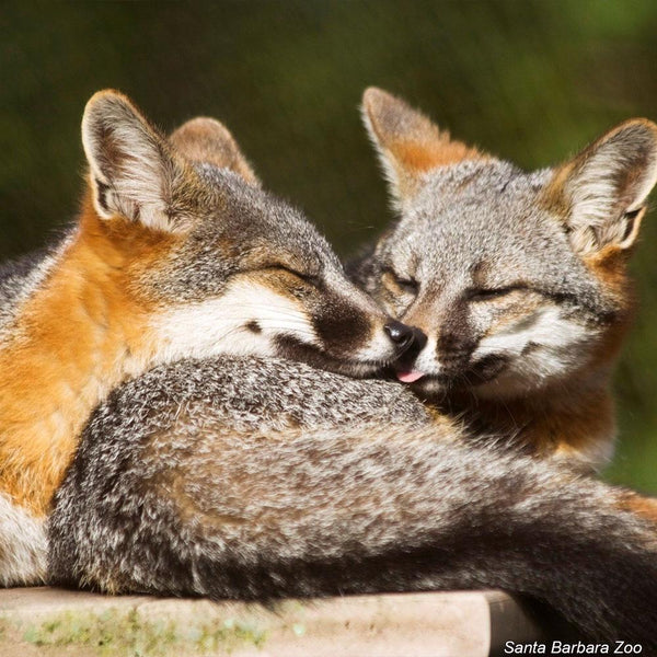 Donation - Protect The Near Threatened Island Foxes