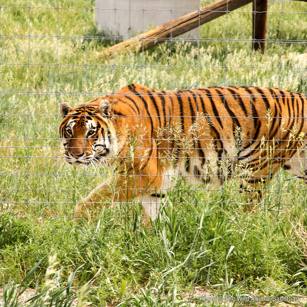 Give Captive Tigers a Better Home with Rescue Rebuild