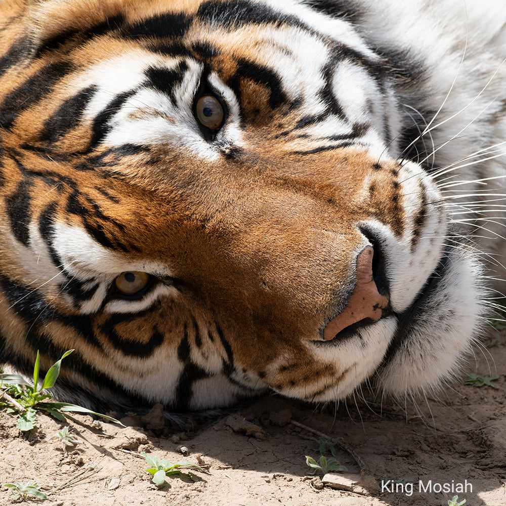 Help Give Abused Tigers a Better Life