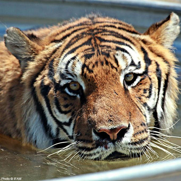 Donation - Care & Feeding For A Rescued Tiger