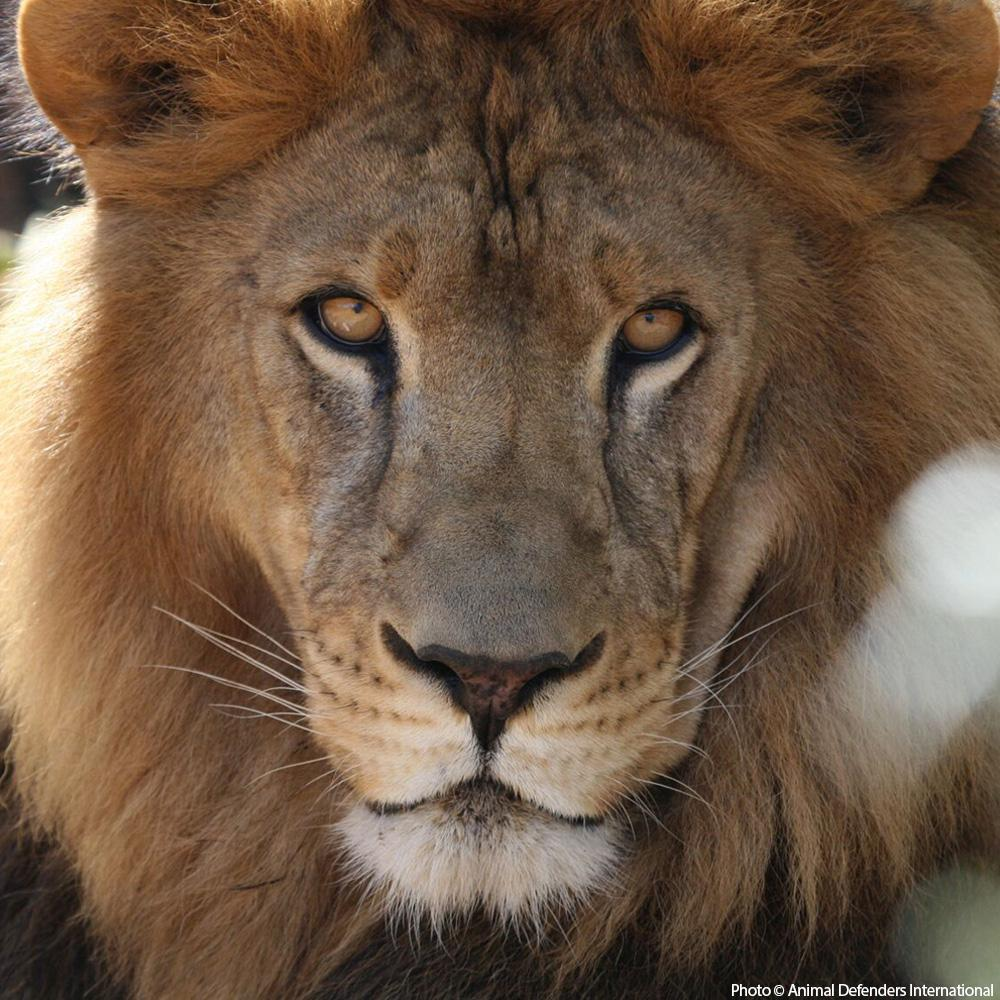 Donation - Help Care For Abused Circus Lions
