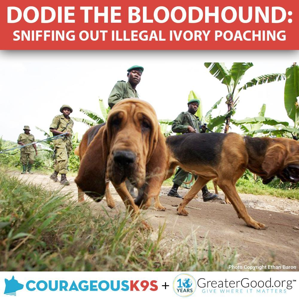 Donation - Help Dodie The Bloodhound Stop Ivory Poaching