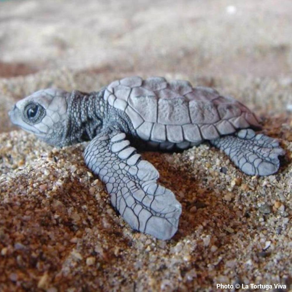 Donation - Help Save Baby Sea Turtles