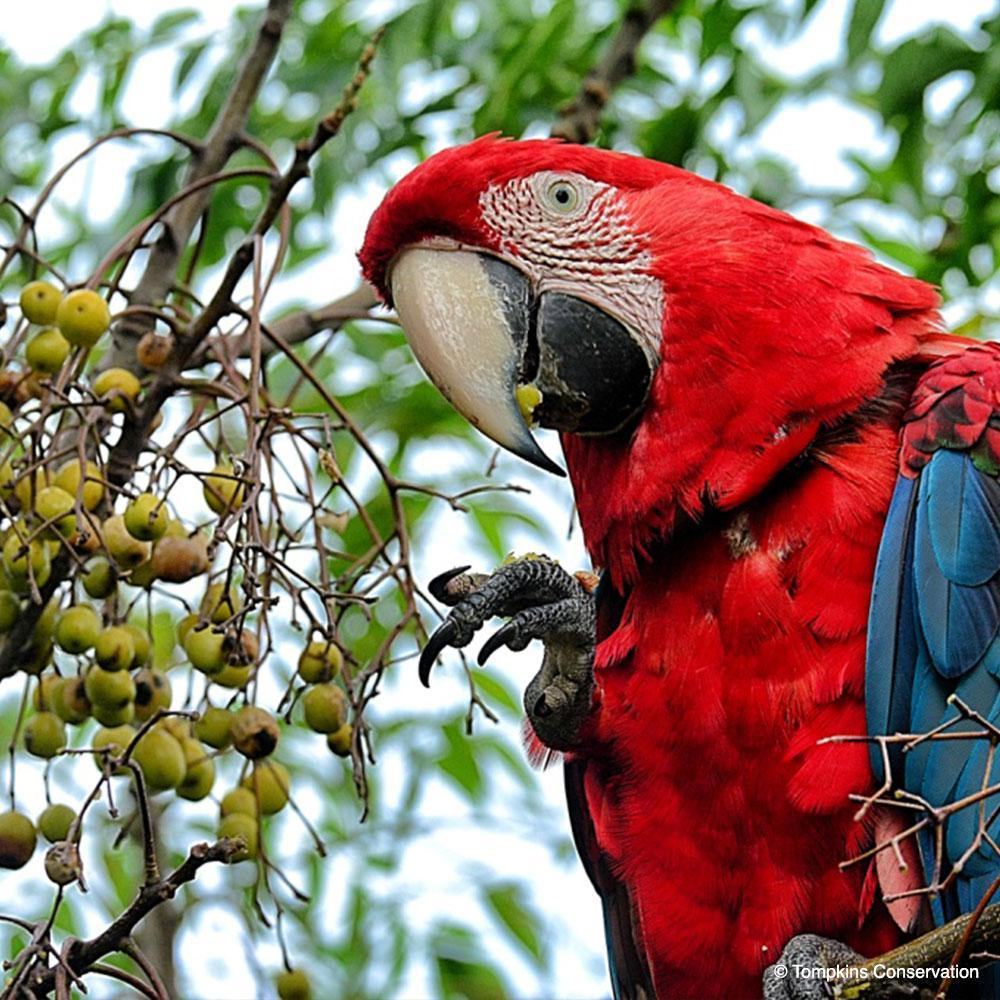 Donation - Help The Green-Winged Macaw Fly Again!