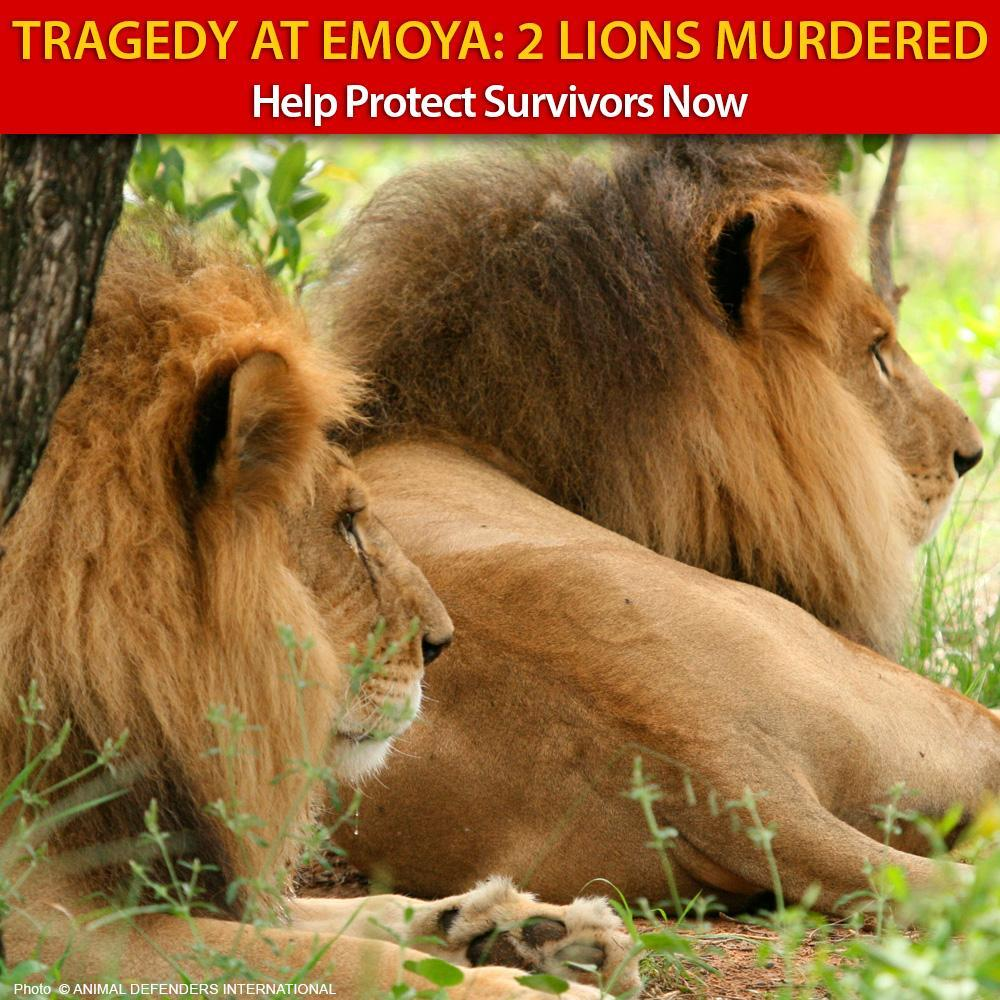Donation - Lions Murdered By Poachers - Help NOW