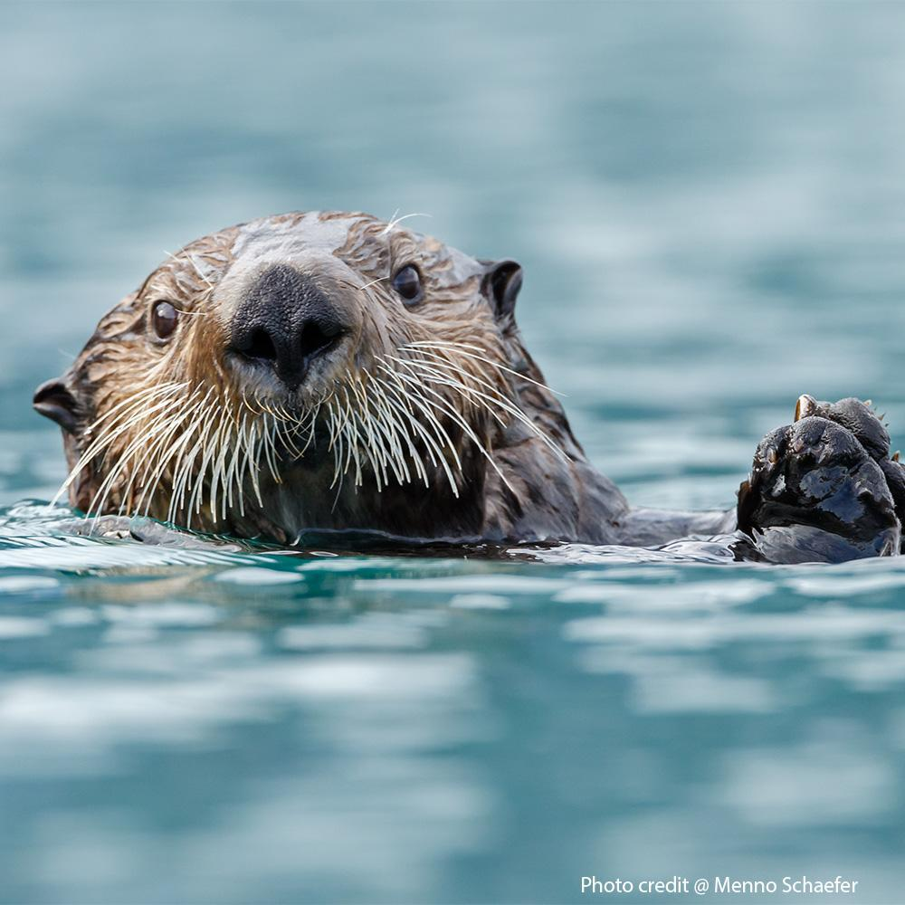 Donation - Offset Carbon With Sea Grass For Otters