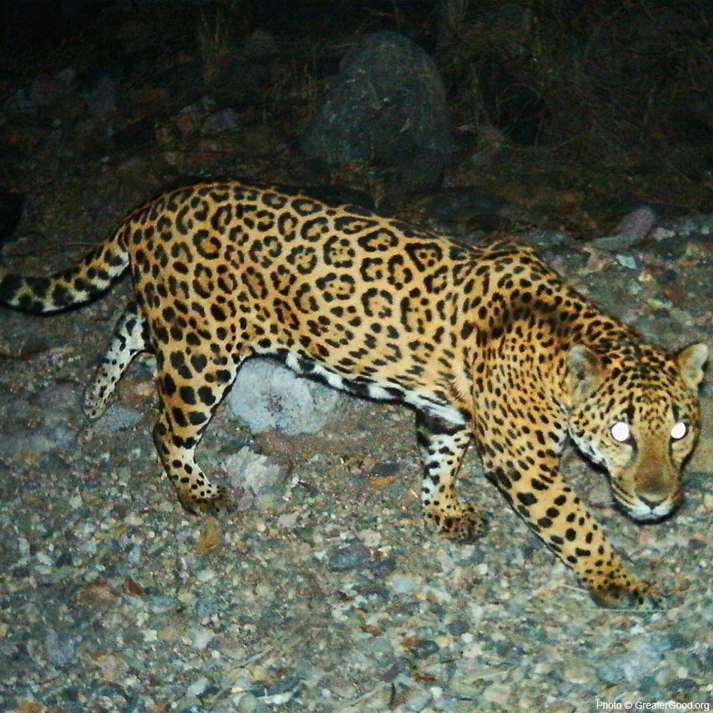 Project Wildcat: Predator Protection in Mexico