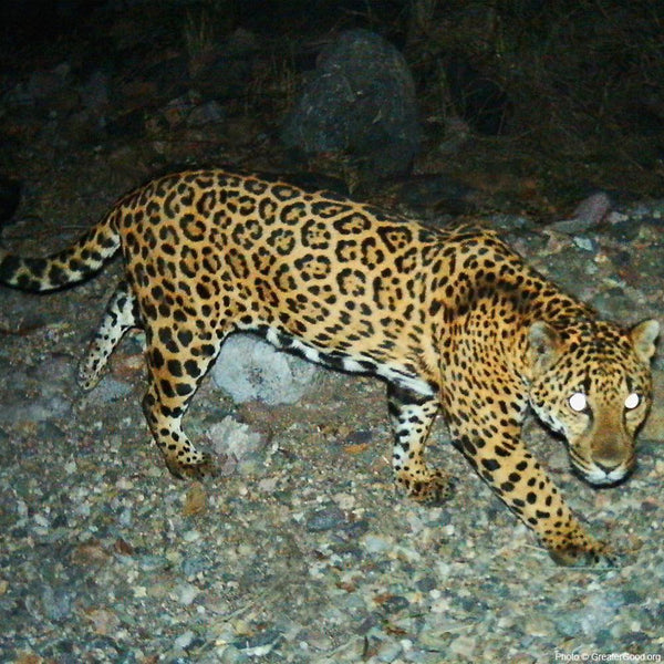 Donation - Project Wildcat: Predator Protection In Mexico