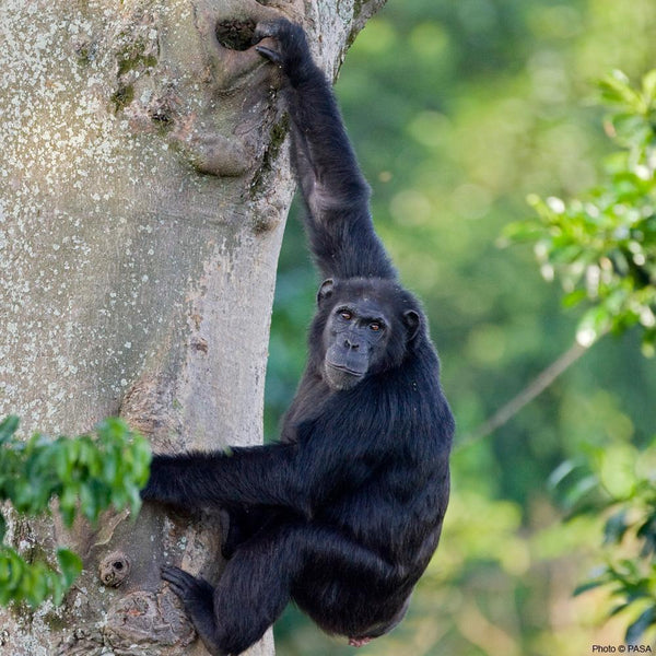 Donation - Protect Wild Chimpanzees And Gorillas From Smugglers