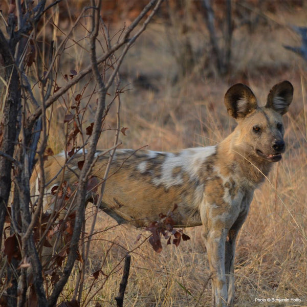 Donation - Protect Zimbabwe's African Wild Dogs