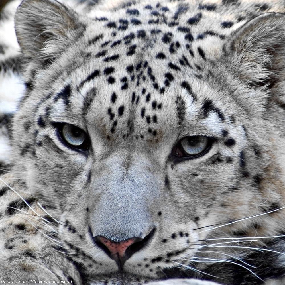 Donation - Protecting Snow Leopard Habitat Will Help Hundreds Of Other Species