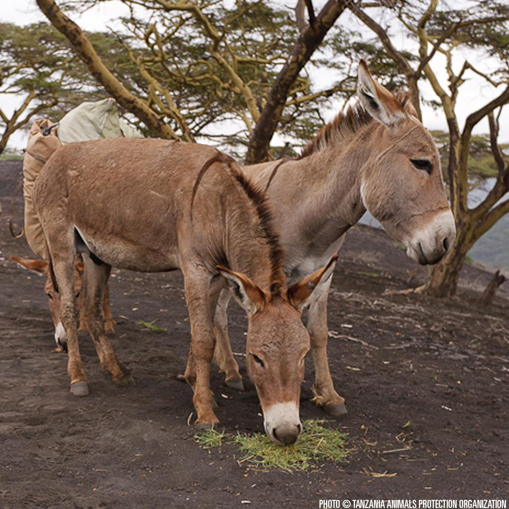 Donation - Provide Veterinary Care For Injured Donkeys