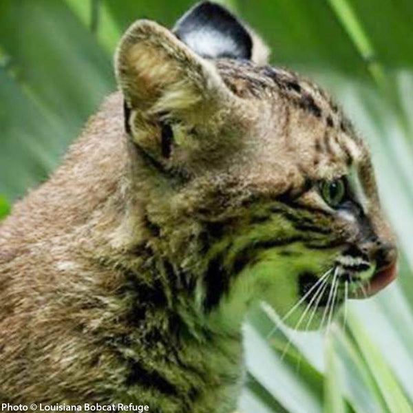Donation - Rescue And Rehabilitate Threatened Bobcats