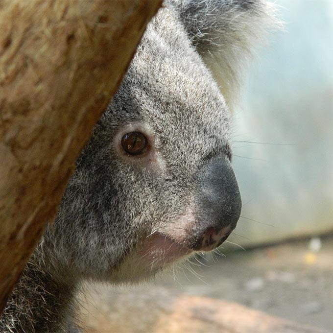 Donation - Return Rescued Koalas To The Wild