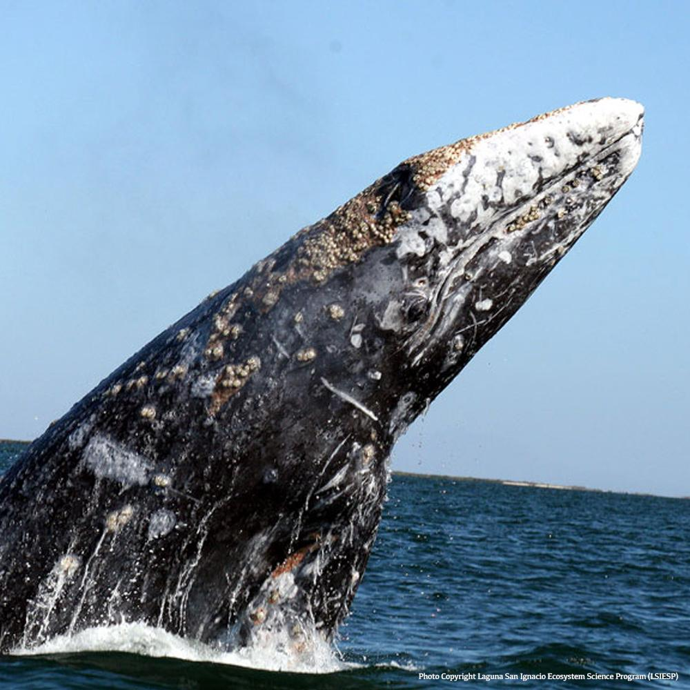 Donation - Save Breeding Whales From Fishing Nets