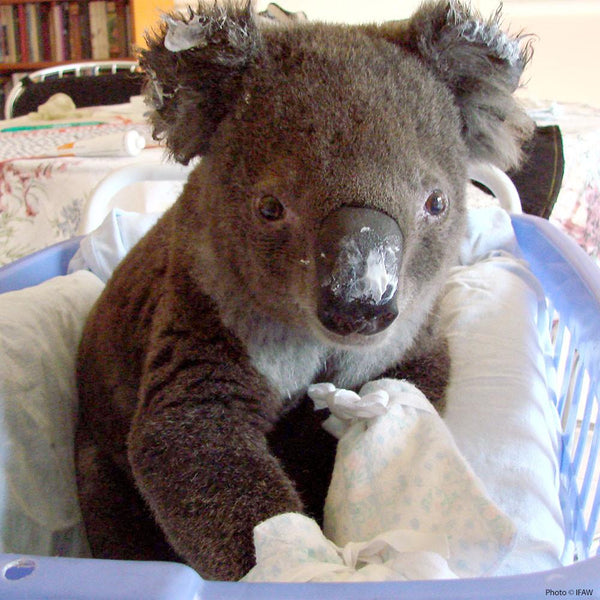 Donation - Save Koalas Injured In Bushfires