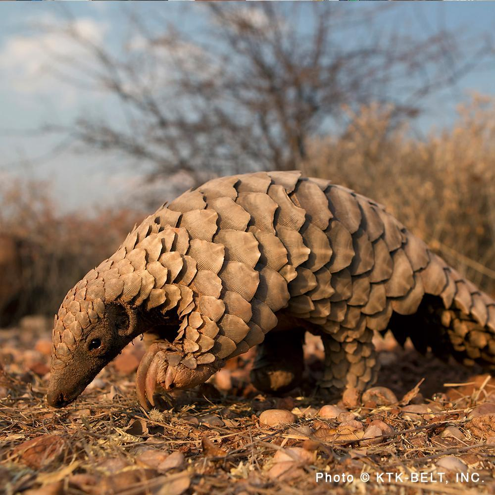 Donation - Save Two Species Of Endangered Pangolins In Nepal