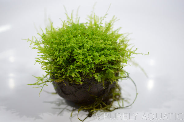 "Purely Aquatic ""Wabi Kusa"" Eco Ball"