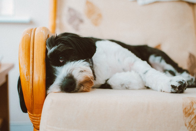 Top 3 Tips for Choosing Pet- Friendly Furniture