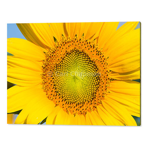 3414  Flowering sunflower in summer morning sun acrylic wall art photo print