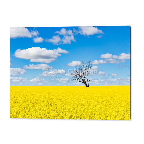 3774 Tree without leaves in field of canola acrylic wall art photo print