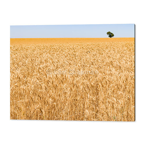 3348 Golden barley in field before harvesting acrylic wall art photo print